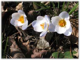 priscillacrocus.jpg