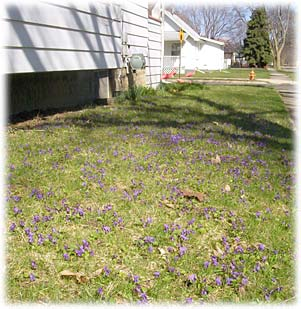 violetsinsideyard.jpg