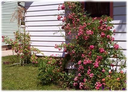 rosesbacksideofhouse07.jpg