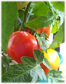 tomatoesonplant.jpg