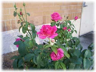 rosesatpanera.jpg