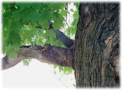 squirrelintree.jpg