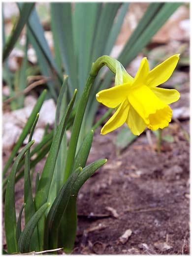 daffodilfirstspring390.jpg