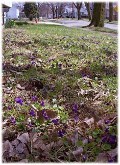 springviolets.jpg