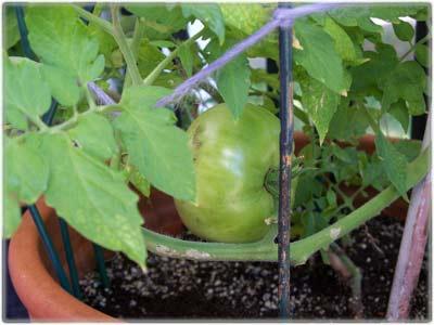 tomatobiggreen.jpg