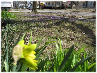 violetsdaffodils091.jpg