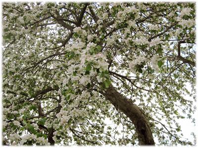 springfloweringtreewaldumar.jpg
