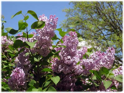 lilacs400.jpg