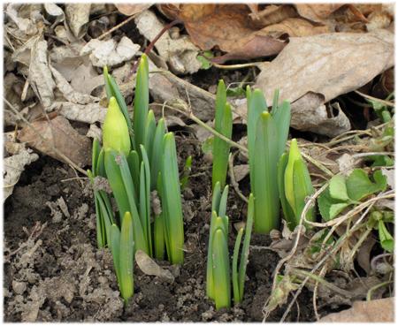 daffodilbudmarch3-2010