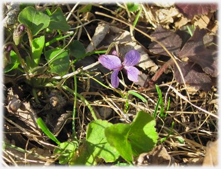 violetsolo