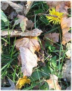 october dandelions