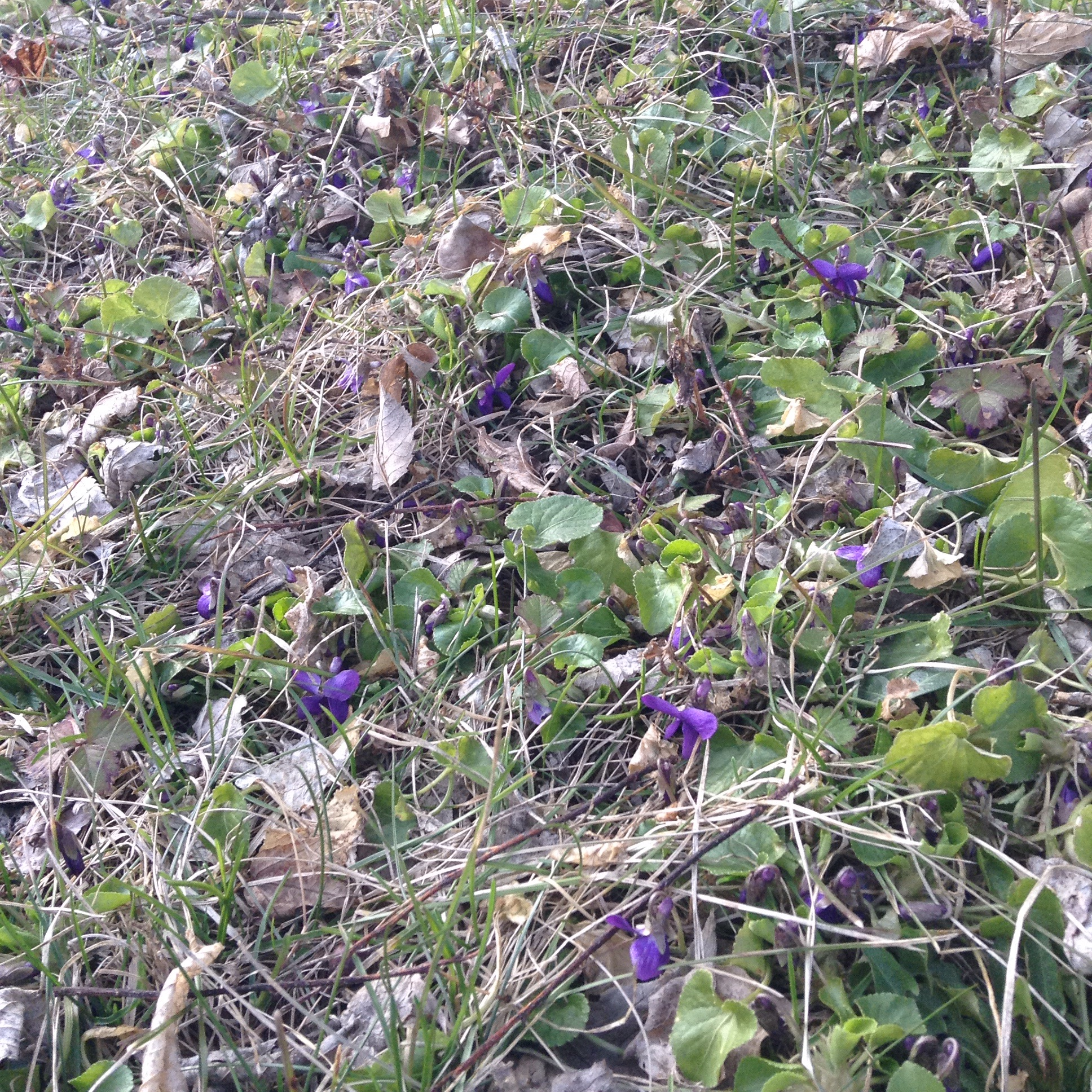 Violets peeking through